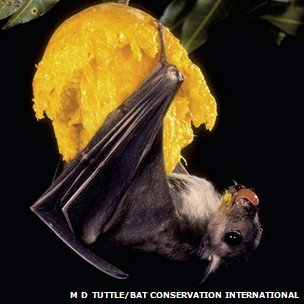 Egyptian fruit bat hanging upside down (c) Merlin D Tuttle/ Bat Conservation International