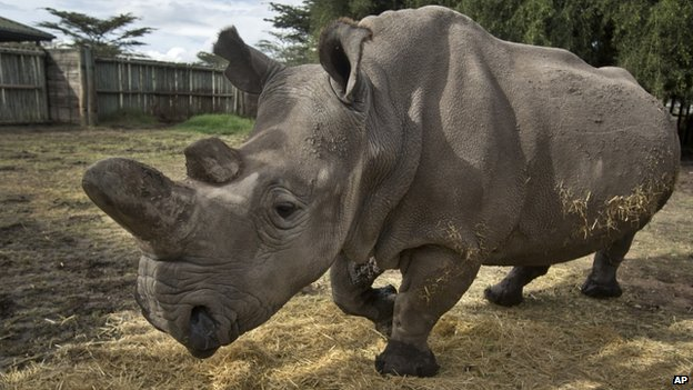 A female northern white rhino is seen in Kenya on 1 December 2014