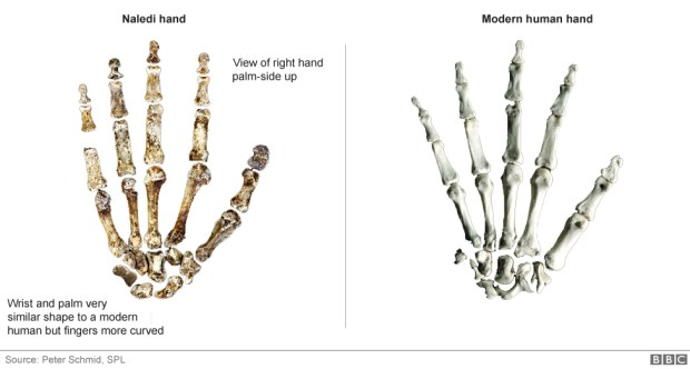 Wrist and palm very similar shape to a modern human but fingers are more curved