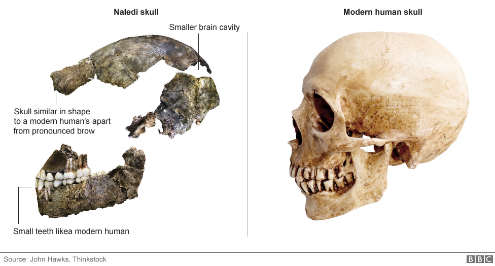 Skull similar in shape to a modern human's apart from pronounced brow and smaller brain cavity
