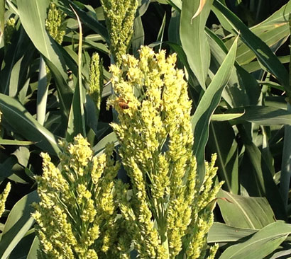 Bee on sorghum flower