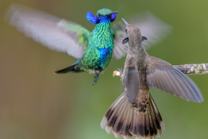 Feisty hummingbirds prioritize fencing over feeding