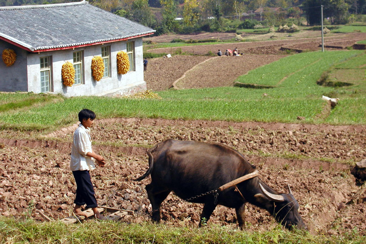 man plowing farm with ox