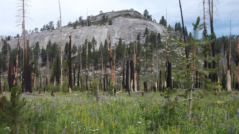 A photo shows a field of wildflowers that grow amidst the blackened trunks of burned trees.