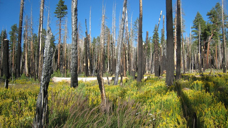 A photo shows a meadow of yellow wildflowers among the burnt trunks of trees.