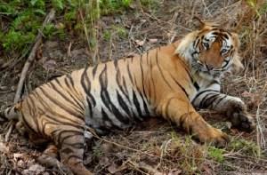Royal Bengal Tiger at Valmiki Tiger Reserve Champaran Bihar