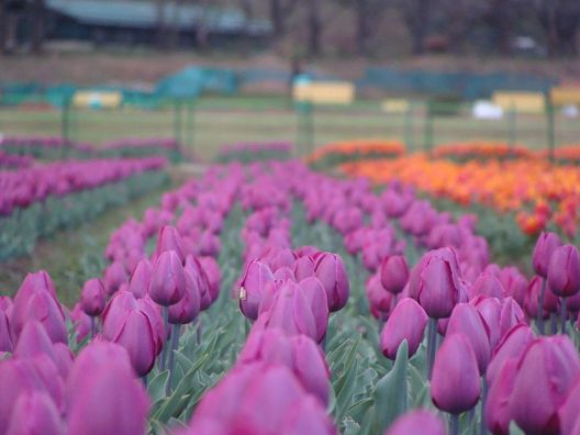 Purple Tulips at Srinagar tulip Garden