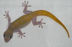 golden_gecko