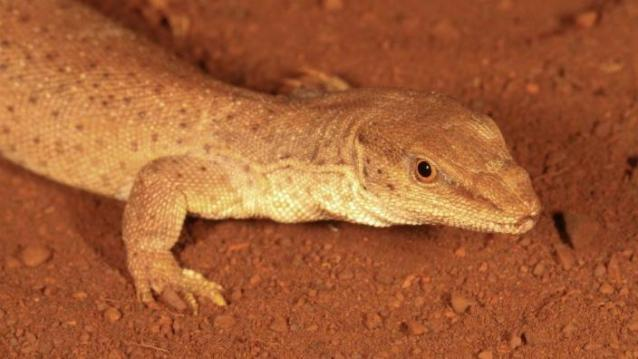 The WA Museum is pleased to announce the discovery of a new species of goanna lizard from the Kimberley region. Image Credit: Western Australia Museum