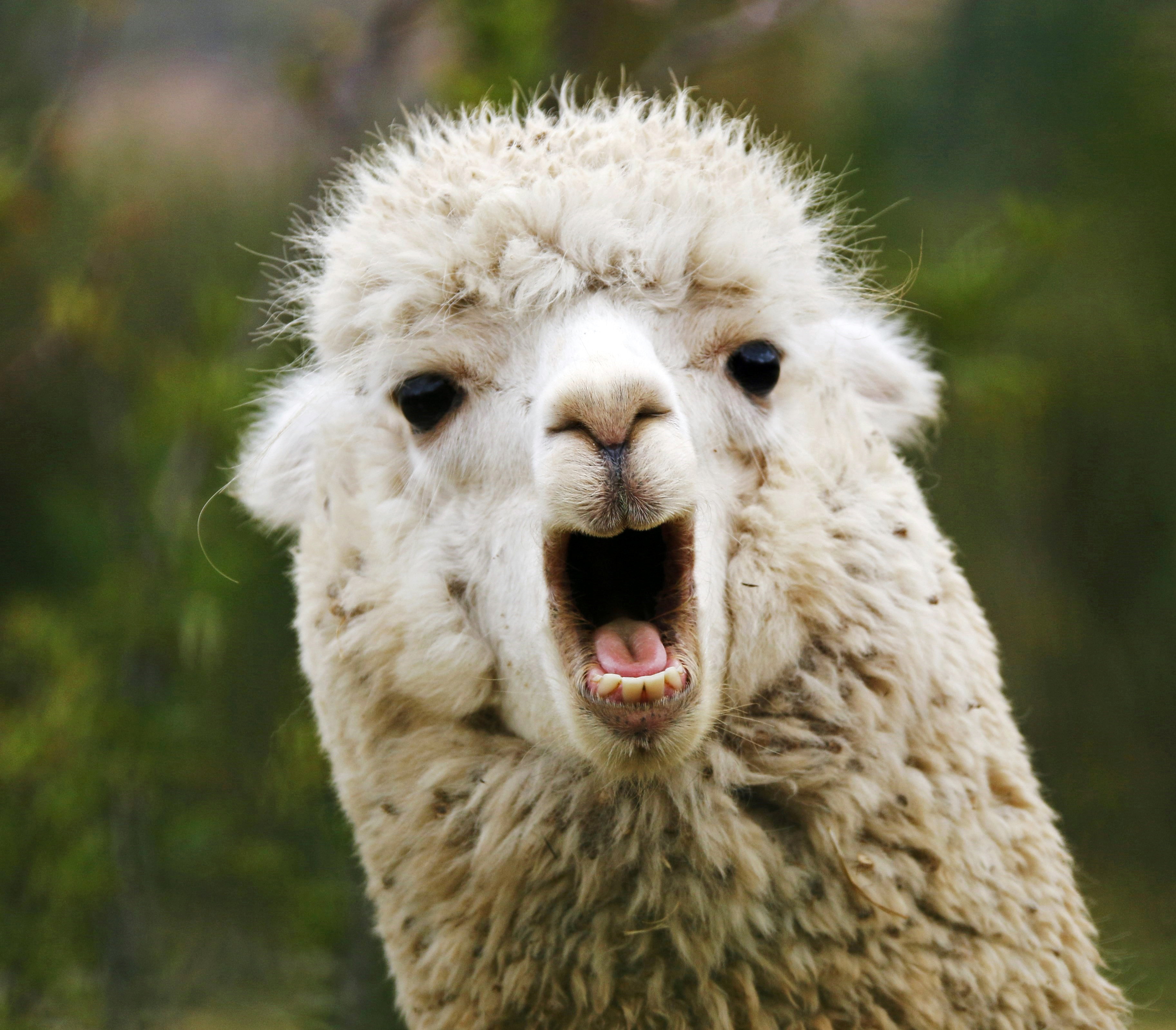 Image result for llama