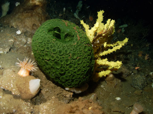 The theory likens cancer to organisms such as these green and yellow sea sponges