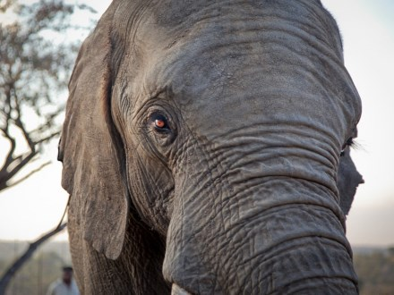 Elephants express many extra genes derived from the critical tumour suppressor gene TP53
