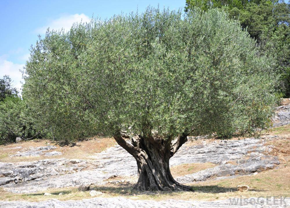 olive-tree-1-_784686