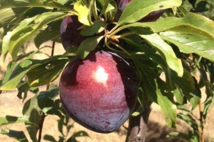 Queen Garnet plum developed in Queensland