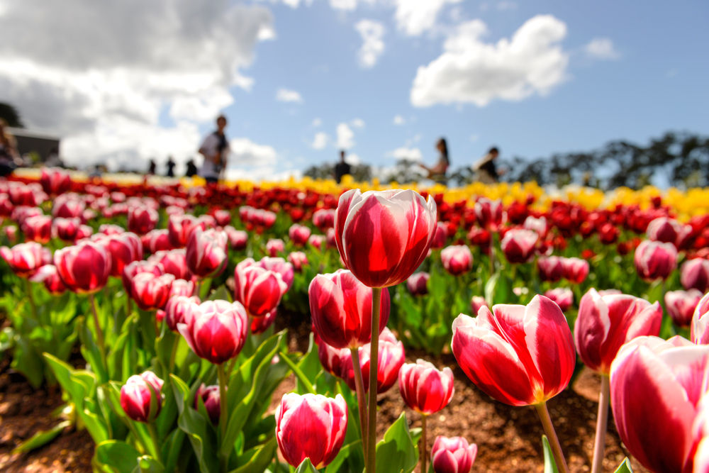 [September benefits] Wayward! Also include tickets! Take you to the Tessler Tulip Festival for free, it is so overbearing!