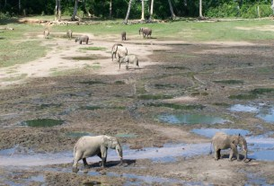 The elephants studied by Dr. Remis in their natural habitat following the paths they have created in their trips from the jungle to the watering holes