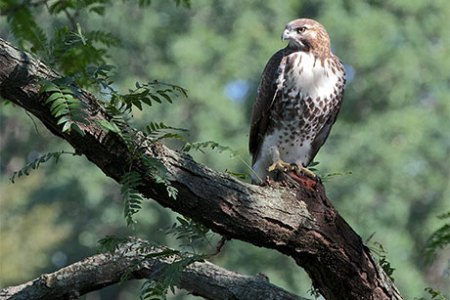 Young hawks found dead  injured on campus   Cornell Chronicle red tail hawk
