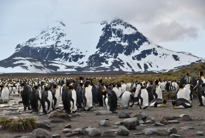 Salisbury Plain king penguin colony, South Georgia
