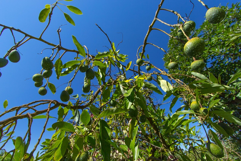 Avocados hanging from a tree