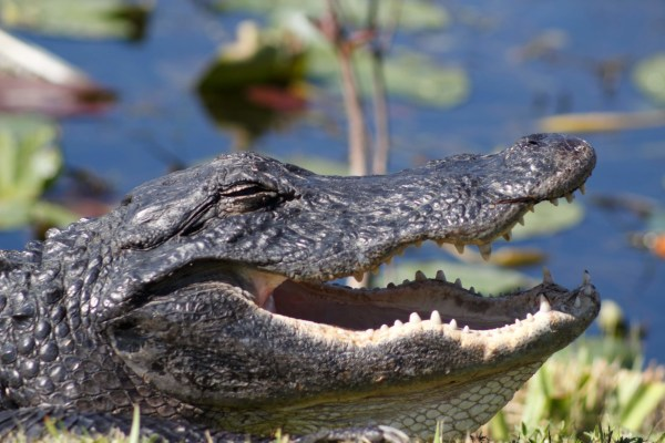Endemic to the southeastern U.S., the American Alligator can be found throughout the Everglades. A. Sanchez, NPS Photo