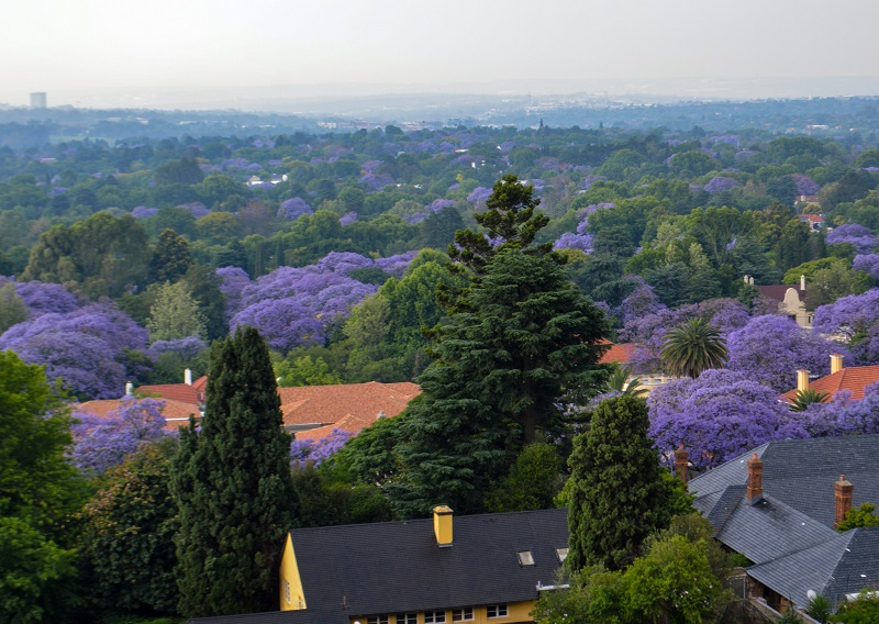 Manmade forest, Johannesburg, South Africa