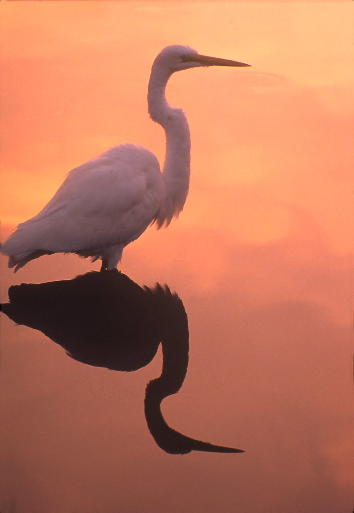 A great egret stands in calm waters. NPS Photo