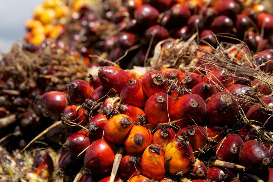 Oil palm fruits ripening. Nanang Sujana, CIFOR