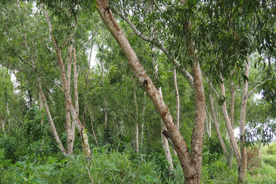 Acacia trees can be used to produce charcoal, avoiding the deforestation of primary forests. Ahtziri Gonzalez, CIFOR