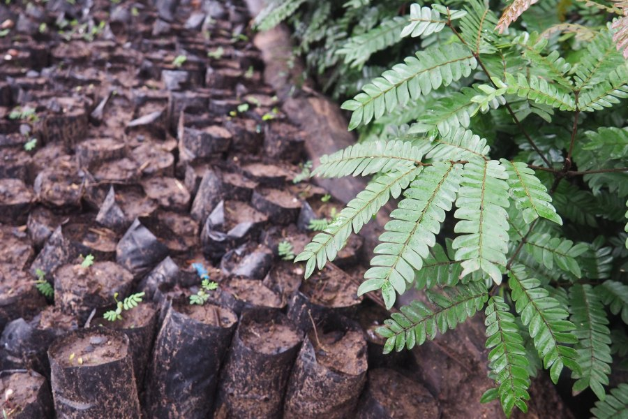 Litoy's nursery contains acacia trees and pentaclethra, a local species. Ahtziri Gonzalez, CIFOR