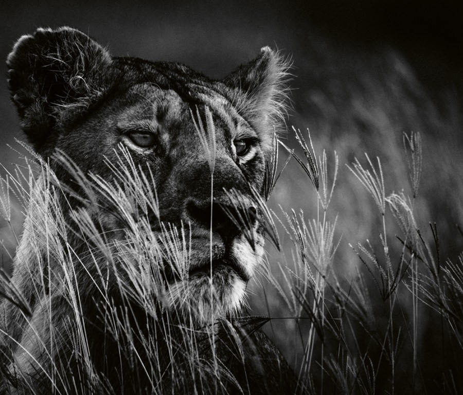 """""""The lioness on the lookout,"""" Tanzania, 2018. Photo © 2019 Laurent Baheux. All rights reserved."""