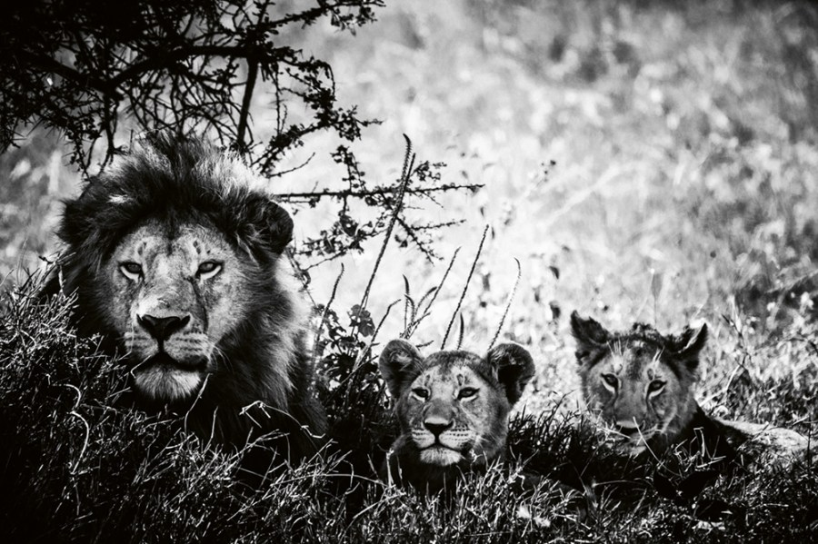 """""""Lion cubs and father,"""" Tanzania 2018 Photo © 2019 Laurent Baheux. All rights reserved."""