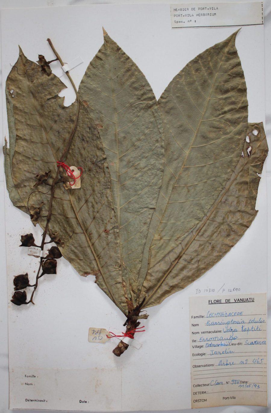 A herberium specimin of Barringtonia edulis, or cutnut, which remains an important food in Vanuatu diets. Monica Tromp