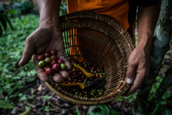 A farmer picks red coffee cherries from a sustainable plantation in West Lampung, Indonesia. Ulet Ifansasti, CIFOR