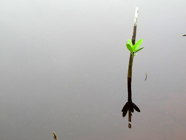 A mangrove sapling. Mangroves provide a multitude of ecosystem services yet rank are among the world's most threatened forest types. Sigit Deni Sasmito, CIFOR