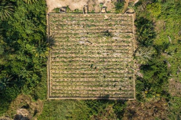 A plantation of the valuable teak wood in Yanonge, Democratic Republic of Congo. Axel Fassio, CIFOR