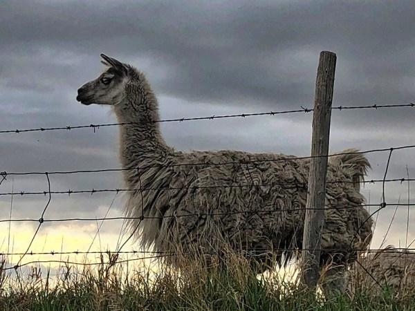 Llama in Saskatchewan, Canada