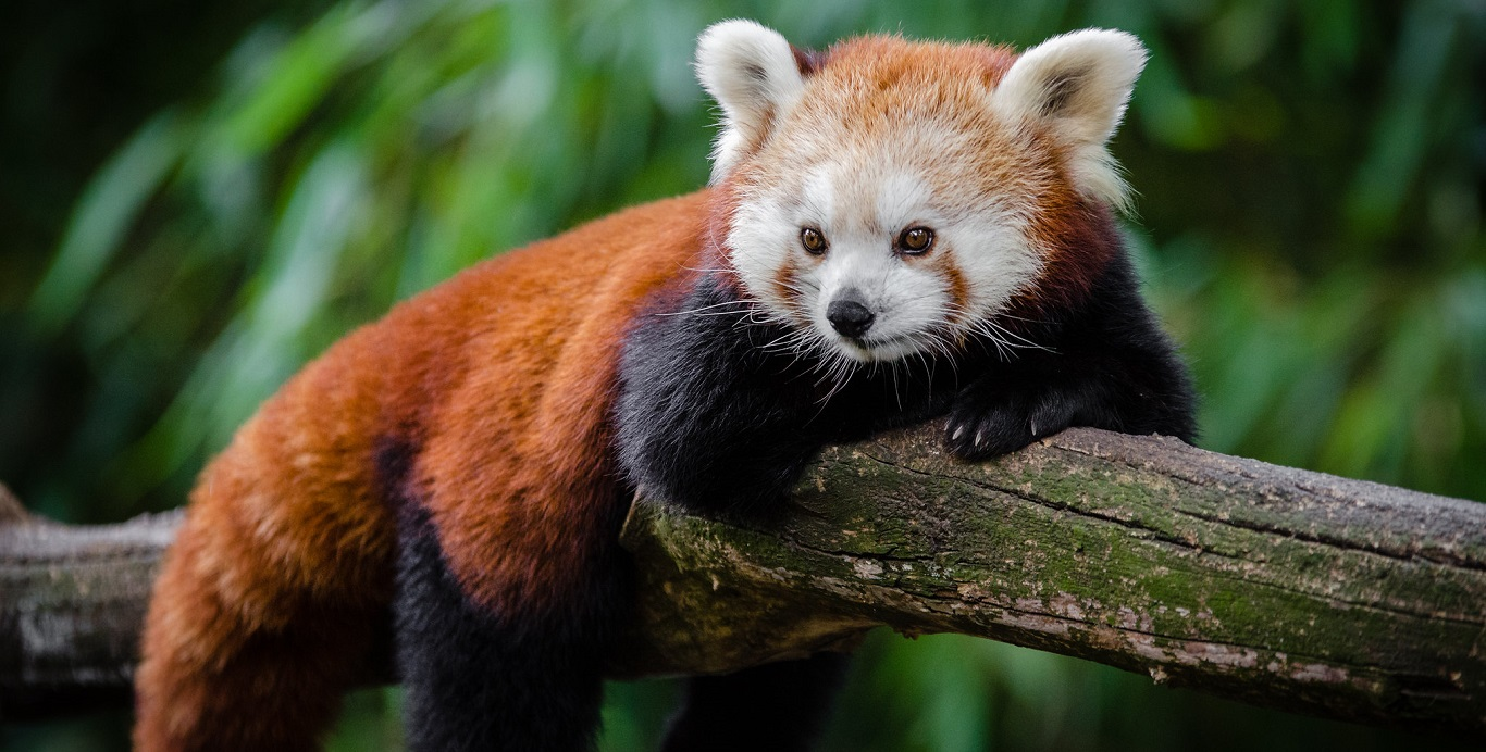 Before The Giant Panda There Was The Red Panda Landscape News
