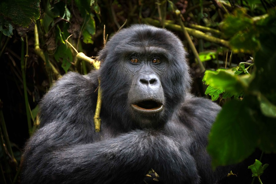 A wild mountain gorilla in Uganda's Bwindi Impenetrable Forest. Rod Waddington, Flickr