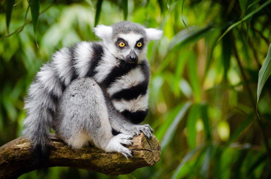 Selon les prévisions des chercheurs, chez les lémuriens, certaines espèces sont très susceptibles de contracter le COVID-19 et d'autres très peu. Matthias Appel, Flickr