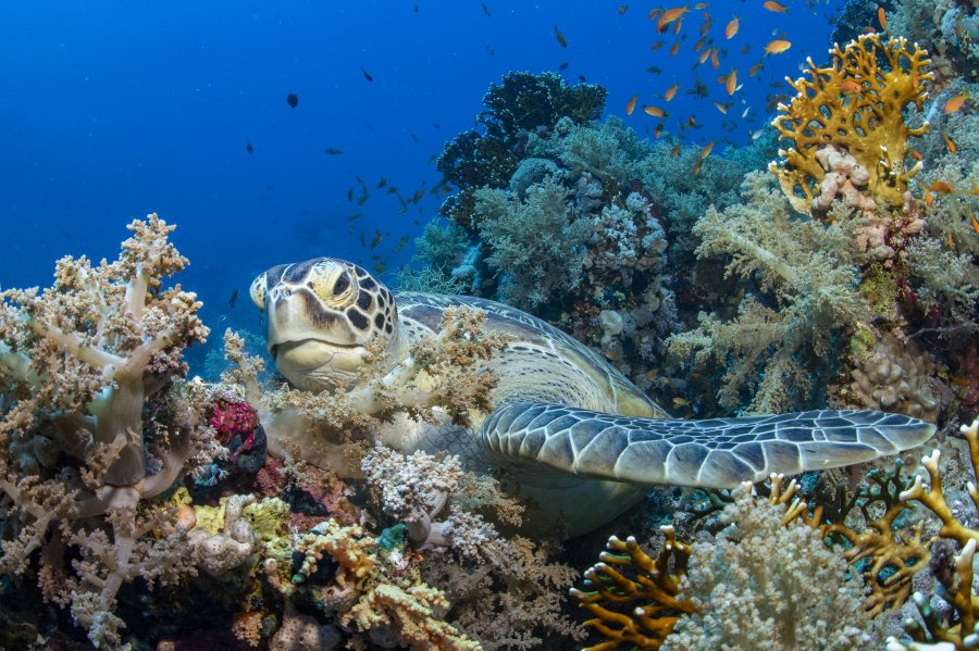 A green sea turtle swims in the Red Sea. Antje Schultner, Flickr