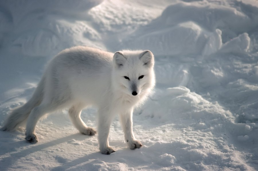 With thick, insulating fur, the Arctic fox (Vulpes lagopus) lives primarily in Arctic tundra landscapes. Karen Kohn, Flickr