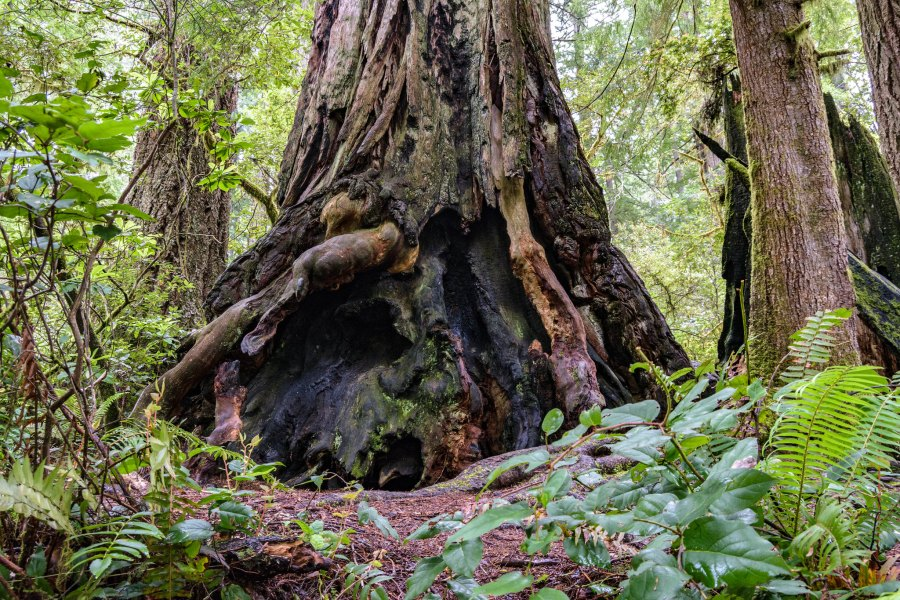 The base of a giant sequoia tree. Roser Martinez, Flickr