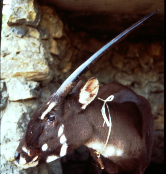 """The rare forest-dwelling saola has earned fame for its nickname as the """"Asian unicorn."""" Bill Robichaud, Global Wildlife Conservation"""
