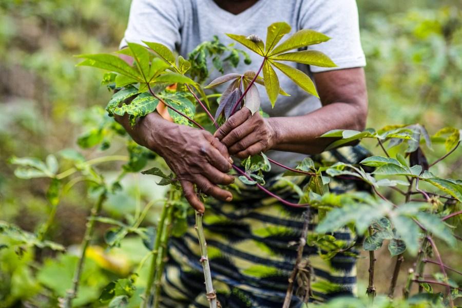 Angelique Ipanga, a teacher and farmer, in a manioc field tending the crop in Lukolela, Democratic Republic of Congo. Ollivier Girard, CIFOR