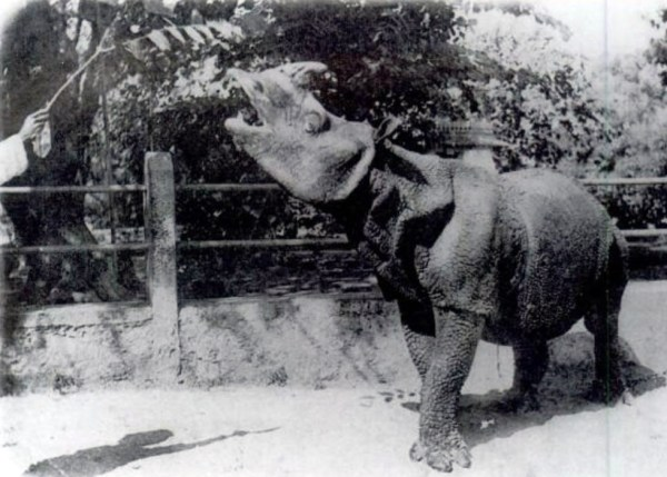 A photo of a Javan rhino, c. 1900. Wikimdedia Commons