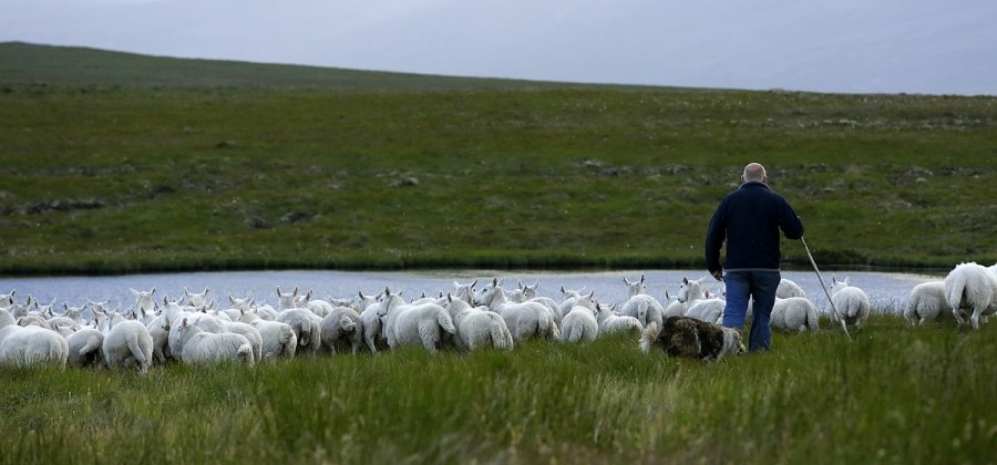 Sheep herding in the Scottish Flow Country peatlands. A. Hay, The Flow Country