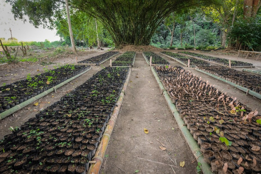 A tree nursery near Yangambi, supported by the research of CIFOR-ICRAF. Axel Fassio, CIFOR