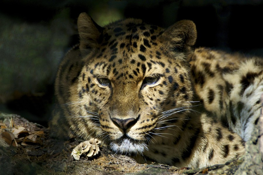 The critically endangered amur leopard, native to southeastern Russia and northern China. Valerie, Flickr