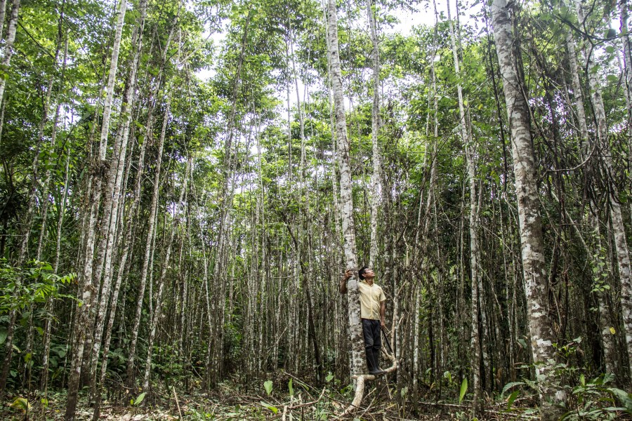 Bolaina trees, whose timber is sold on international markets, are mixed with food crops in a sustainable agroforestry landscape in Peru. Juan Carlos Huayllapuma, CIFOR