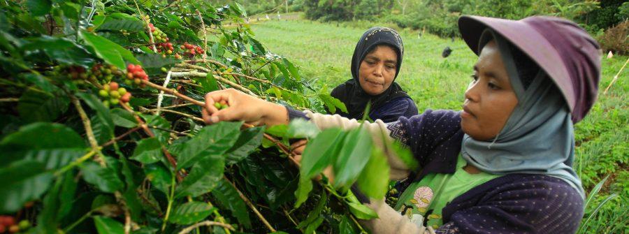 Farmers harvesting coffee in South Sulawesi, Indonesia. Yusuf Ahmad, World Agroforestry